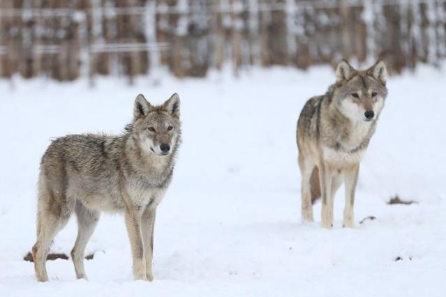 Kayseri Büyükşehir Belediyesi Hayvanat Bahçesi, kar yağışı nedeniyle beyaza büründü. 180 bin metrekarelik alanda yaklaşık 2 bin hayvanın bulunduğu hayvanat bahçesinde, özellikle kurt, geyik, ördek, ayı, aslan, deve ve yaban keçilerinin açık barınaklarında karda dolaşması güzel görüntüler ortaya çıkardı. İşte o fotoğraflar...