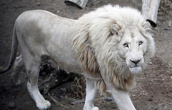 Beyaz aslan Musafa satılmasın kampanyası