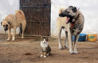 Bu Kangal ve kediler görenleri şaşırtıyor