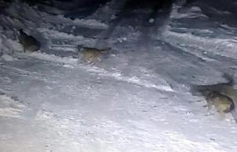 Ardahan'da korkutan görüntü!  Aç kurtlar parçaladı