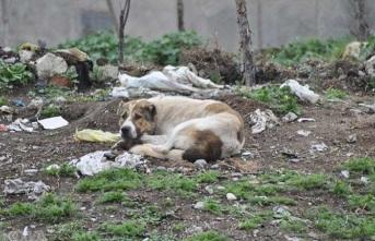 9'dan fazla köpek saldırdı! Kadın hastaneye kaldırıldı