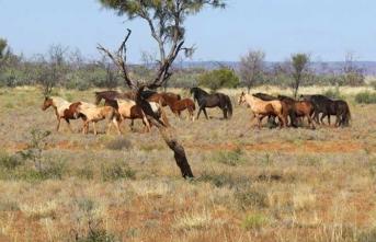 Avustralya'da aşırı sıcaklar hayvanları vurdu!