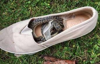 Ayakkabısında yılanla 15 bin kilometre yolculuk yaptı!