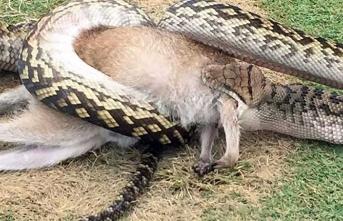 Dev yılan avını yutarken görüntülendi!