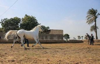 Safkan Arap atları burada yetiştiriliyor!