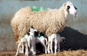 Amasya'da bir koyun altız doğurdu