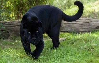 Jaguarla selfie öldürüyordu