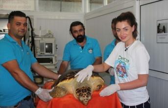 İngiltere güzeli tedavisi tamamlanan kaplumbağayı denize bıraktı