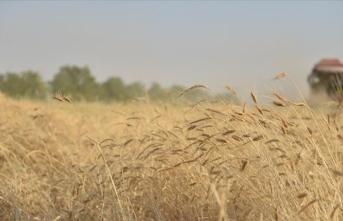 Mezopotamya'nın en eski buğday tohumunda ikinci hasat