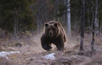 Kahvaltıda ayı saldırdı: Ölü ve yaralılar var
