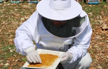 Sezonun ilk polen hasadına başladılar