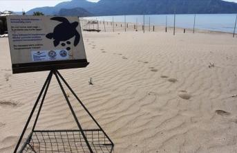 İztuzu Plajı'nda caretta caretta yuvası sayısı 661'e ulaştı