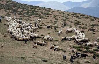 Muş'ta terörden temizlenen yaylalar koyun sürüleriyle doldu