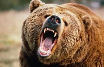 Tarlada ayı saldırısına uğrayan çiftçi ağır yaralandı