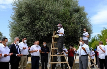 1300 yıllık ağaçtan zeytin topladılar