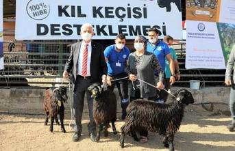 140 aileye 420 kıl keçisi desteği