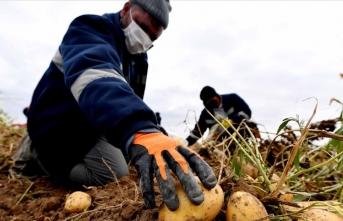 Ekonomiye kazandırılan arazide hasat başladı