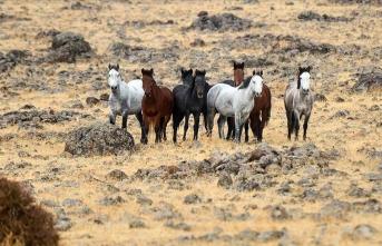 Yılkı atları bozkırlara renk katıyor