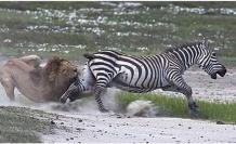 Zebra kılığına girdiler, aslan saldırısına uğradılar