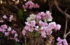 Tayvan orkideleri Burdur'da