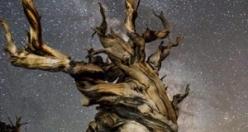 Dünyadaki üç trilyon ağacın en yaşlılarının hikayesi