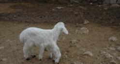 Diyarbakır'da 6 ayaklı doğan kuzu görenleri şaşkına çevirdi