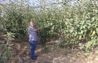 Siirt elmaları Orta Doğu ve Asya'yı besliyor