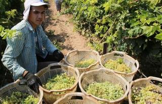 Türkiye'nin üzüm ihracatı yüzde 43 arttı