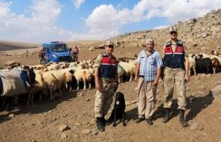 Kayıp koyun sürüsünü İHA yardımıyla buldu
