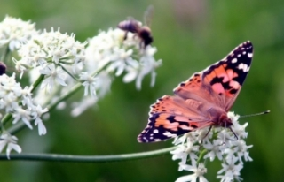 Böcek türlerinin yüzde 40'ı yakın gelecekte...