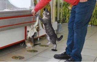 Fenomen kedi için mezar