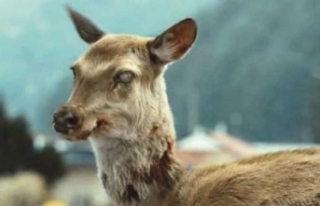 Hastalık yayılıyor! Zombi geyikler