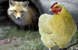 Bu kez tersi oldu! Tavuklar tarafından öldürüldü