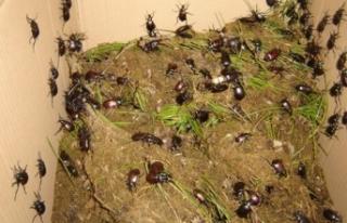 İstanbul'u gladyatör böcekler' koruyacak!