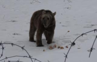 Sarıkamış'ta aç kalan ayı yavrusu ilçeye...