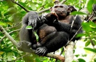 Bazı zenginler düğünlerde şempanze eti yiyor!