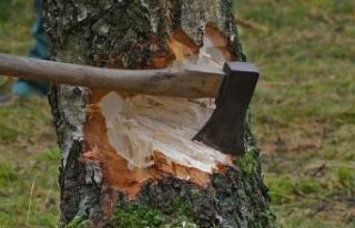 Yaş meşe ağacını keseni Yargıtay affetmedi