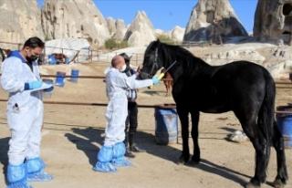 'Güzel atlar ülkesi'nin atlarına mikroçip...