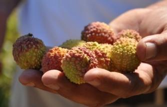 Antalya'da tropik meyve üretimi artıyor