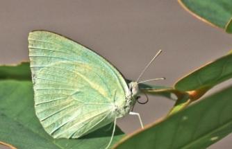 3 yeni kelebek türü keşfedildi