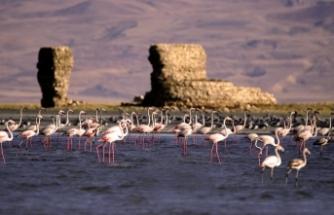Van Gölü'nün yeni misafirleri flamingolar