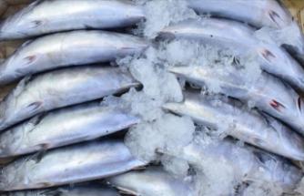 Gelibolu'da kırmızı etli balık bolluğu