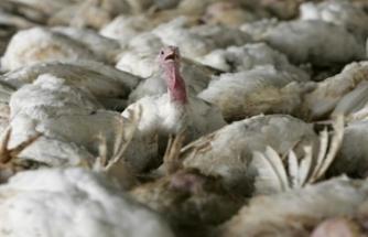 Hollanda'da kuş gribi paniği