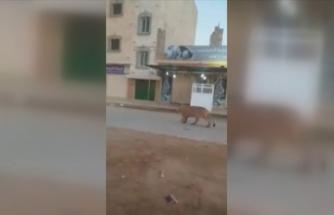 Bingazi'de caddede dolaşan aslan herkesi şaşırttı