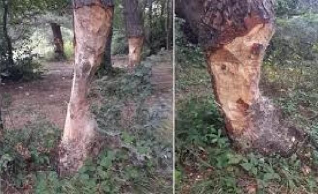 Çıra yapmak için, ağaçların gövdesini acımasızca oydular | VIDEO