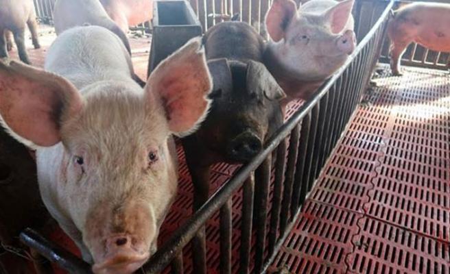 Afrika domuz vebası Batı Avrupa'ya sıçradı
