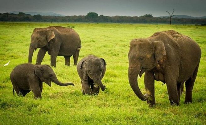 Kaçak avcılar filleri, filler avcıları öldürdü