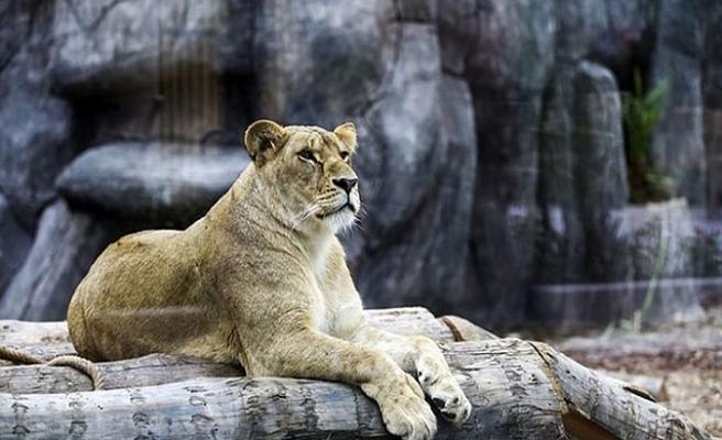 Türkiye'nin ilk aslan parkı açıldı