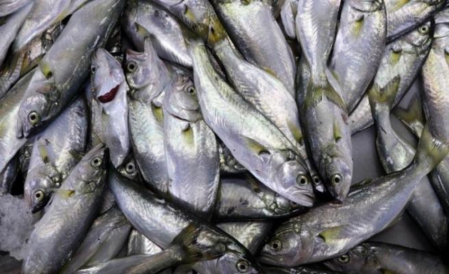 Çinekop bolluğu balıkçıların yüzünü güldürdü