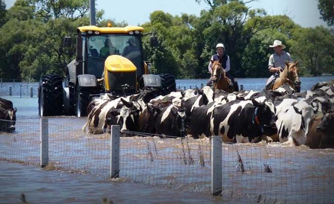 Sel felaketinde 300 bin sığır öldü!